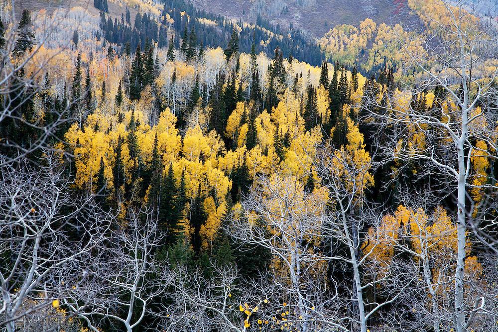 Aspens in Big Cottonwood Canyon, UT
