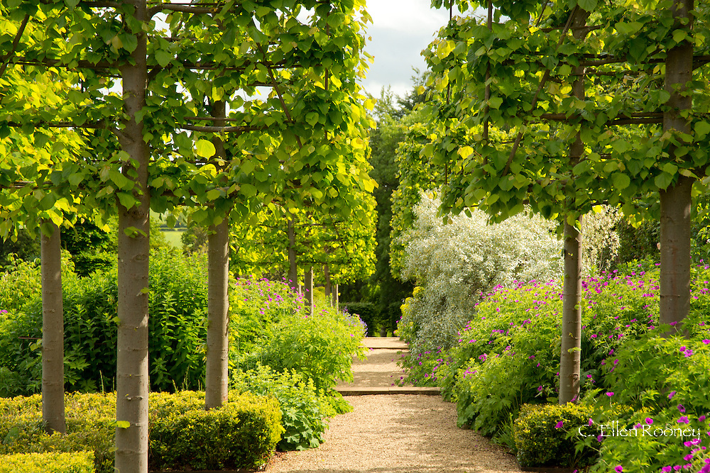 A gravel path running through pleached Tilia x europea 'Pallida' Kaiser Linden underplanted with geranium 'Patricia' at Broughton Grange, Oxfordshire, UK  Garden was designed by Tom Stuart'Smith