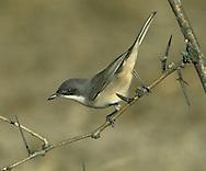 Orphean Warbler - 1st winter - Sylvia hortensis