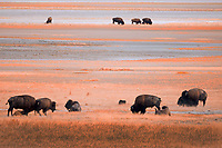 A herd of American Bison also known as Buffalo feeds along the shores of Antelope Island in northern Utah. With water levels of the Great Salt Lake low the bison venture farther onto the mud flats.
