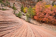 Maple and oak trees in fall color along a streaked sandstone wash in Zion National Park, Utah
