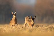European Hare (Lepus europaeus) adult male chasing female, South Norfolk, UK. March