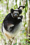 Indri <br /> Indri indri<br /> Mother with 2 week old infant<br /> East Coast of Madagascar