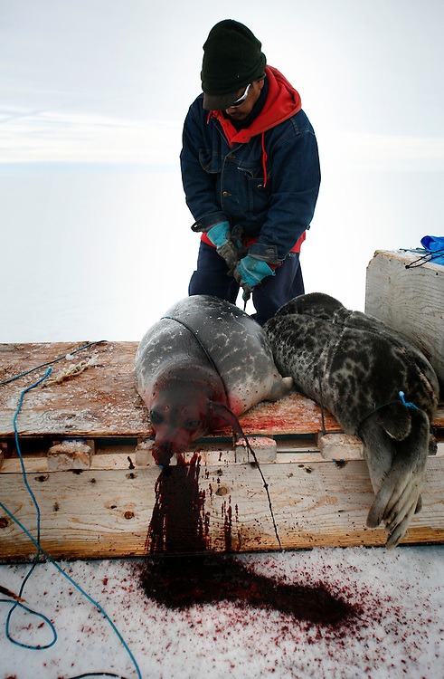 Sasa Samson 37 tied the Seal to the sled after he shot him with his rifle in Resolute Bay. Tuesday June 12 2007....Sasa is the beast hunter of the Inuit town of Resolute bay...His hunts seals for food, every part of the seals is used or for food or for worm cloth.....