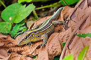 Alberto Carrera, Ameiva Lizard, Tropical Rainforest, Corcovado National Park, Osa Conservation Area, Osa Peninsula, Costa Rica, Central America, America