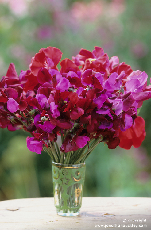 Simple arrangement of dark coloured sweet peas in a glass vase. Lathyrus odoratus