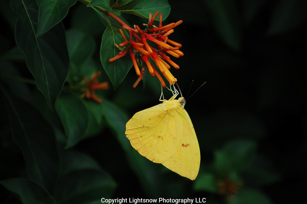 This is photograph of a Southern Dogface Butterfly eating nectar.  It was taken at Daggerwing Nature Center in Boca Raton, Florida.