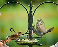 Northern Cardinal, Gray Catbird. Image taken with a Nikon D850 camera and 200 mm f/2 VR lens