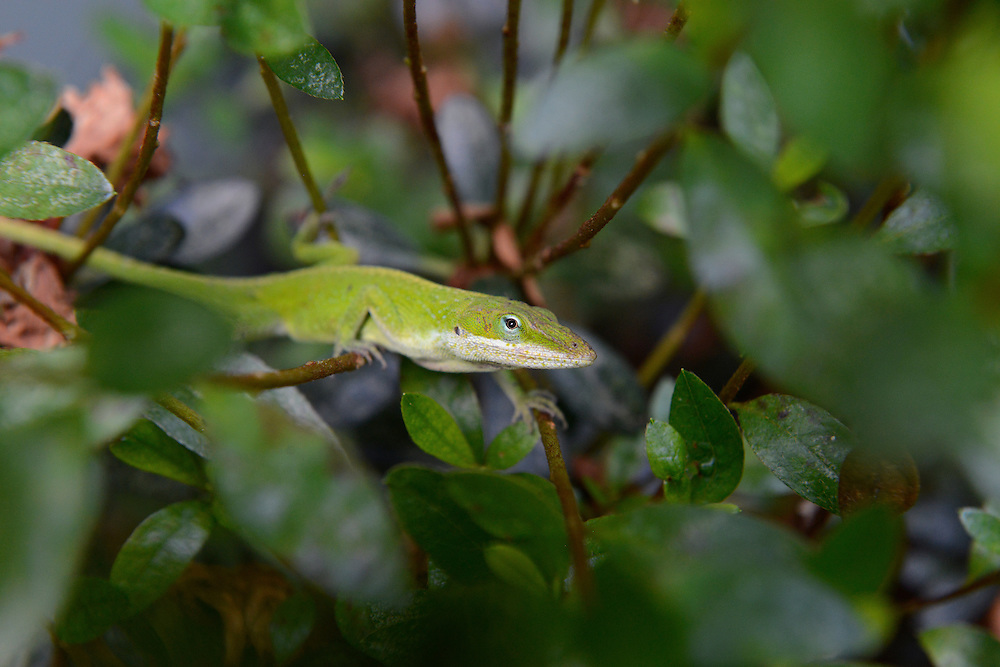 Green Anole Lizard in Georgia, USA.<br />