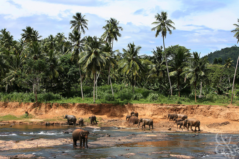 A herd of elephants roams a river bank at the Pinnewala elephant orphanage near Kegalla, Sri Lanka August 12, 2008. The herd of about 50 is made of orphaned elephants whose parents have fallen victim to poachers or road accidents.