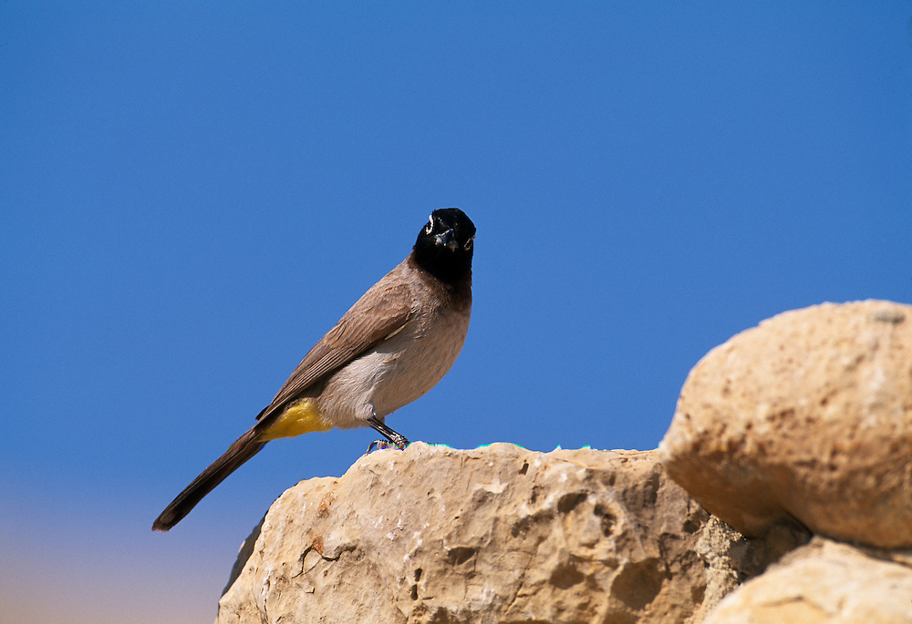 Common bulbul perched on rocks, Israel......A98-01-PYCBAR-003.JPG NIALL BENVIE COMMON BULBUL PERCHED ON ROCKS, ISRAEL PORTFOLIO PYCNONOTUS BARBATUS XANTHOPYGOS MIDDLE EAST JUDAEA EIN GEDI BIRD PASSERINE HORIZONTAL ABOVE WATCHING CAUTIOUS ALERT WARY VENT EYE-RING BROWN BLUE YELLOW WILD ADULT ONE PERCHING OASIS WADI DESERT DRY 2004 MARCH SPRING.. Add () this image to a lightbox. Close this window... .. ..