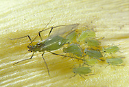 APHID GROUP