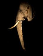 Elephants of Amboseli National Park, Kenya