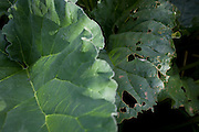 Eaten away rhubarb leaves growing in home-grown vegetable plot in a Somerset back garden.