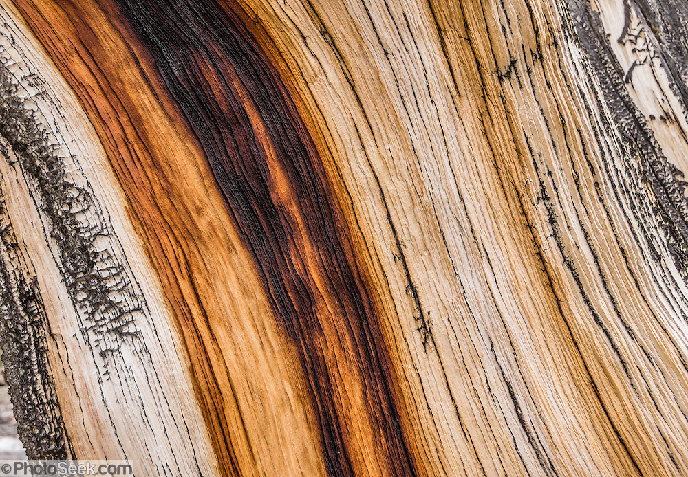 Ancient wood has grown into fascinating patterns in the harsh dry alpine climate at Schulman Grove, in the Ancient Bristlecone Pine Forest, Inyo National Forest, in the White Mountains, near Big Pine, California, USA. The world's oldest known living non-clonal organism was found here in 2013 -- a Great Basin bristlecone pine (Pinus longaeva) 5064 years old, germinated in 3051 BC. It beat the previous record set by the famous nearby 4847-year-old Methuselah Tree sampled around 1957. Starting from the visitor center at 9846 feet, we hiked the Cabin Trail loop, returning along Methuselah Grove Trail (highly recommended, to visit the world's oldest living trees), with views eastward over Nevada's basin-and-range region. An important dendrochronology, based on these trees and dead bristlecone pine samples, extends back to about 9000 BC (with a single gap of about 500 years).