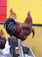 Farmyard hens, West of Ireland