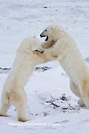 01874-11411 Polar Bears (Ursus maritimus) sparring, Churchill Wildlife Management Area MB