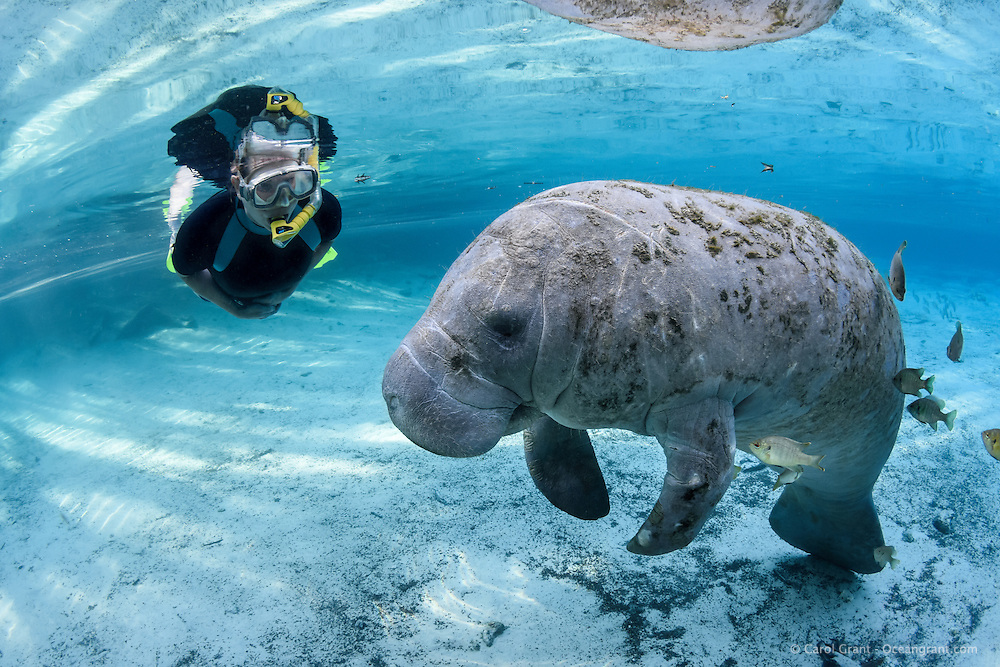 A relaxed feamle manatee and swimmer observe each other at Three Sisters Springs. Passive observation such as this allows for a once in a lifetime encounter for this snorkeler. It is late in the manatee season and the water is clear and blue in the springs. The fish are bream or commonly known as sunfish (Lepomis sp.). Crystal River National Wildlife Refuge, Kings Bay, Crystal River, Citrus County, Florida USA. Florida manatee, Trichechus manatus latirostris, a subspecies of the West Indian manatee