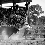 A rodeo clown dances with a bull, allowing its rider a safe exit from the ring.<br /> Augusta Rodeo 2011.
