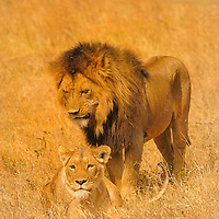 Male and female lions in Ngorongoro Crater Tanzania.