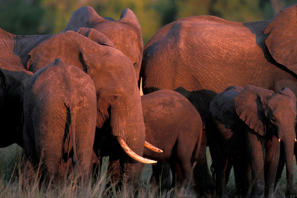Africa, Botswana, Chobe National Park, Elephant herd (Loxodonta africana) gathers along Chobe River at sunset
