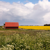 A lone electric windmill in the beautiful countryside of northern Jutland in Denmark which is covered in yellow blossoms of rapeseed fields in the springtime.