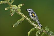 Yellow-rumped Warbler - Setophaga coronata (Myrtle) - Adult male breeding