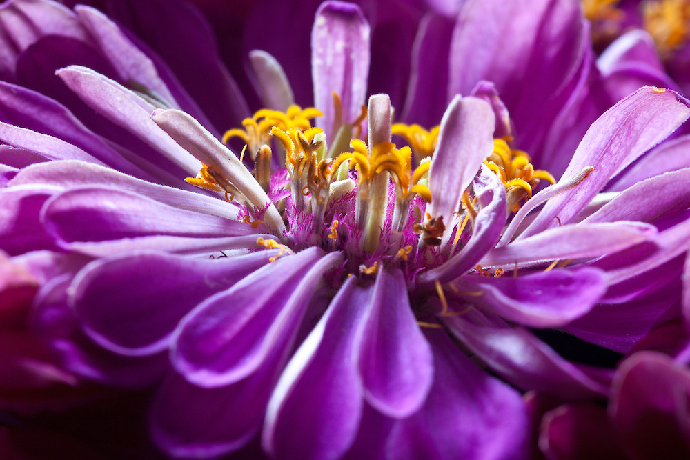 I zoomed in on this zinnia with my close-up lens to get a close-up shot.