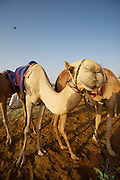 Early morning is the busiest time at the Camel Market. Curious camels
