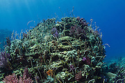 Whip coral (Alcyonacea)<br /> Cenderawasih Bay<br /> West Papua<br /> Indonesia