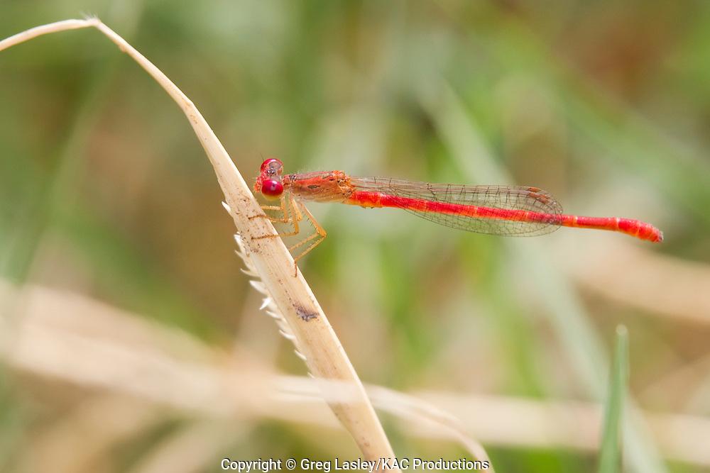 Desert Firetail .Telebasis salva.male.Cooper Spring,.Lampasas,.Lampasas Co., Texas.22 September 2011