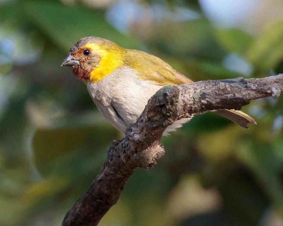 Tiaris canorus, female, Cuba