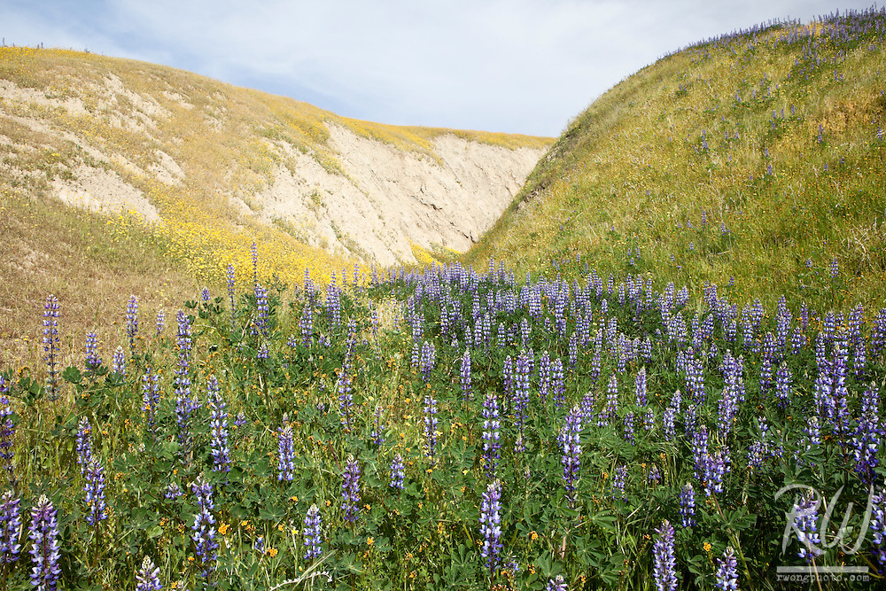 Lupine, Wind Wolves Preserve, California