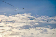 Nederland, Middelaar, 5-12-2012Ganzen vliegen in de lucht tegen een blauwe hemel.Foto: Flip Franssen/Hollandse Hoogte