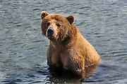 Kamchatka brown bear (Ursus arctos beringianus), Kurile lake, Kamchatka, Russia