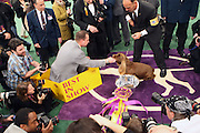 Winner Best in Show, Stump(The Sussex Spaniel), at The 133rd Westminister Annual All Breed Dog Show Finals held at Madison Square Garden on February 10, 2009..It is, quite simply the greatest tradition in the world of dogs.  For the 133rd consecutive year, the Westminister Kennel Club will once again bring together the world's very best dogs in the world's greatest sporting arena to compete for the most coveted title in the sport: Best in Show at the Westminister Kennel Club All Breed Dog Show.