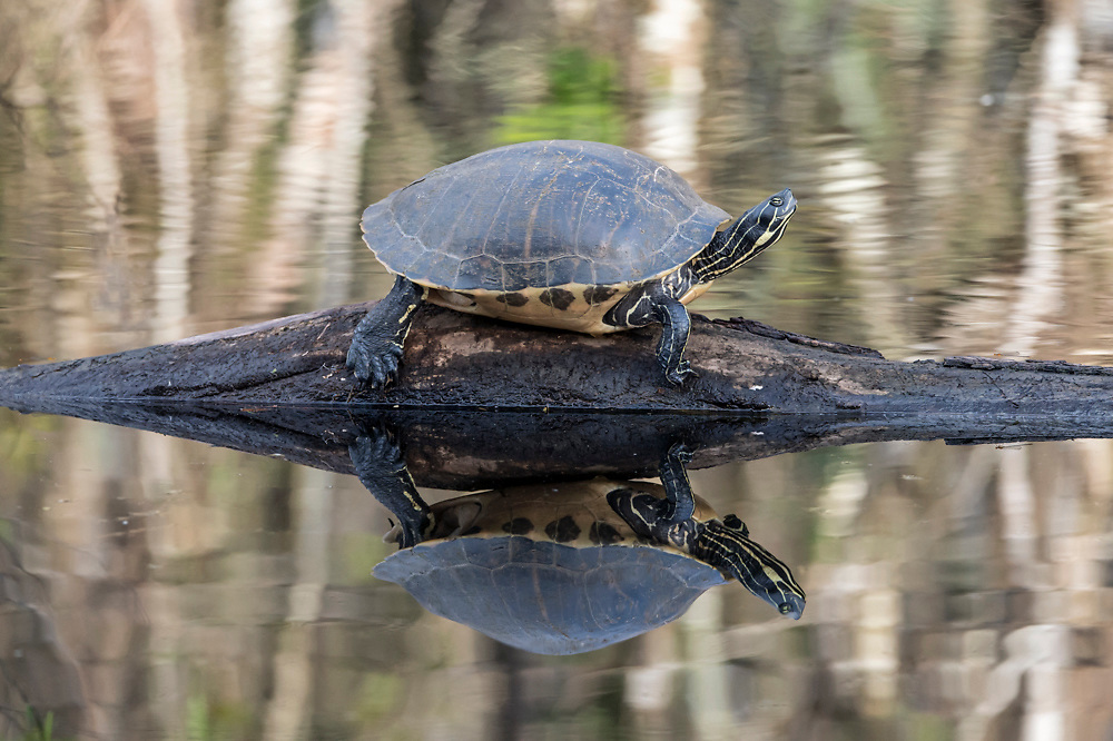 Suwannee River Cooters (Pseudemys concinna suwanniensis) rests on a log in Big Cypress National Preserve in Collier County, Florida, United States