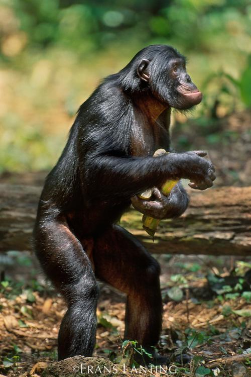 Bonobo standing up, Pan paniscus, Congo (DRC)