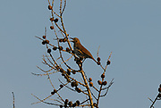 Thrush, evening song