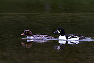 A pair of Barrow's Goldeneye (Bucephala islandica) swimming at Lightning Lake in Manning Provincial Park in British Columbia, Canada