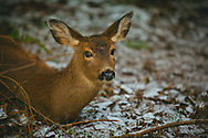 Deer reclining in snow - Point Defiance, Tacoma, WA