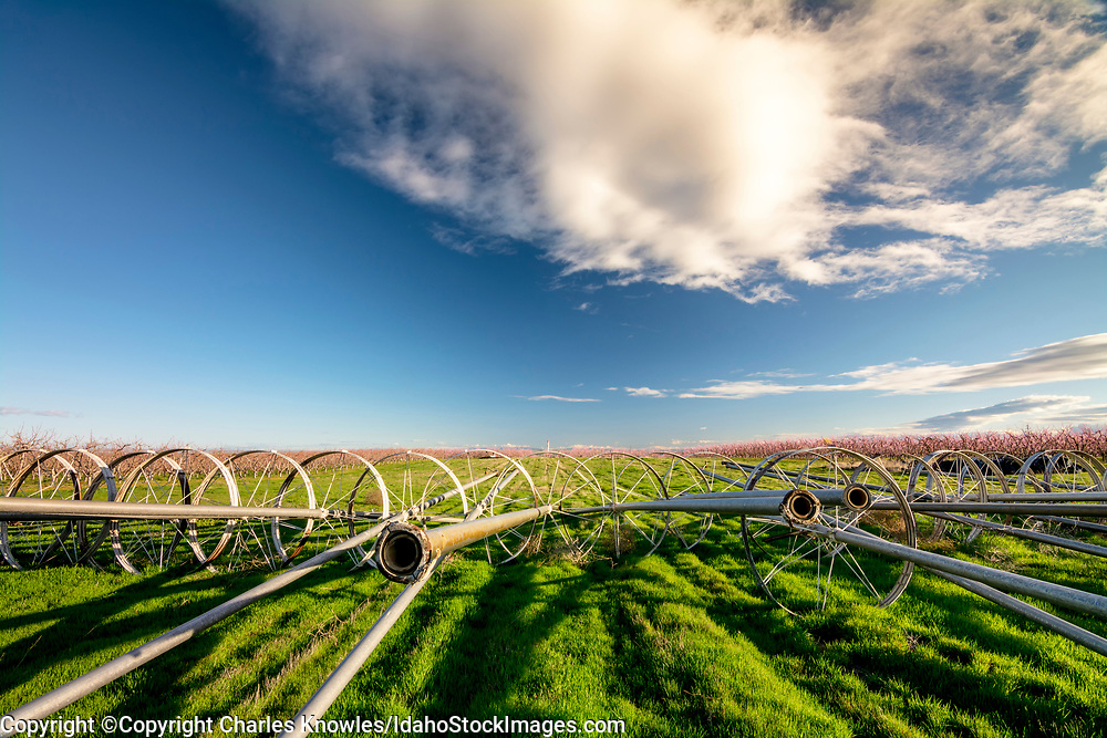 Irrigation pipes lead to flowering trees of an orchard