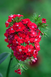 Dianthus barbatus F1 'Sweet Scarlet'. Sweet William