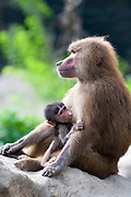 A female hamadryas baboon (Papio hamadryas) nursing young. Captive. Range: semi-arid plains and rocky hills in Ethiopia, Somalia, Saudi Arabia, and Yemen.