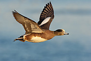 American Wigeon; Anas americana; male, Choptank River, Maryland
