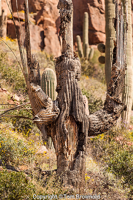Saguaro skeleton