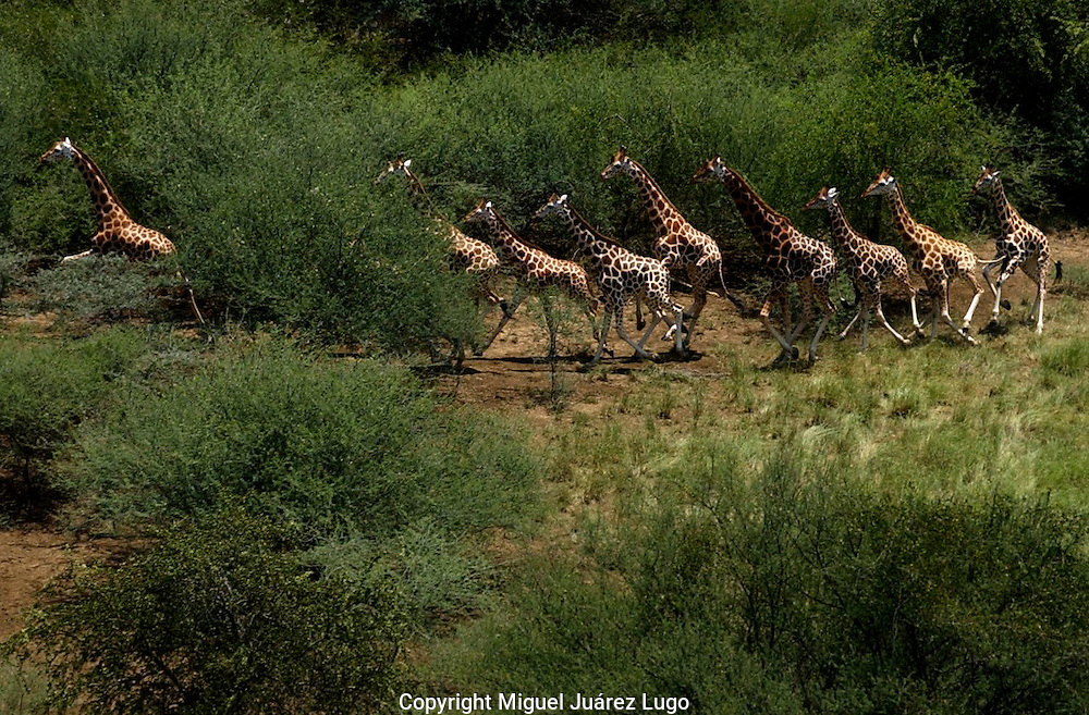 A group of giraffe, runs in the Bandingalio National Park part of the Boma-Jonglei Landscape, home to some of the most spectacular and important wildlife populations, including  perhaps the largest wildlife migration in the world. An annual migration of  antelope colled the white-eared kob may rival the famous wildebeest migration of the Serengeti.(PHOTO: MIGUEL JUAREZ)