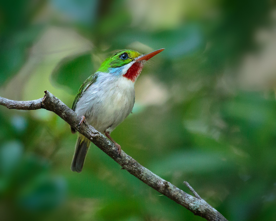 Todus multicolor, near Hatiguanico River, Zapata Peninsula, Cuba, endemic