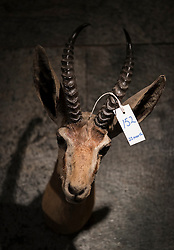 © Licensed to London News Pictures. 17/11/2016. Billingshurst, UK.  The head of a Dorcas gazelle, circa 1910, is displayed at Summers Place Auctions ahead of it's sale in their 'Evolution' Auction taking place on November 22, 2016 - which will also see a rare dodo skeleton up for sale.   Photo credit: Peter Macdiarmid/LNP