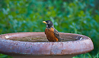 American Robin (Turdus migratorius) male in birdbath.  Males:  Black head and dark red breast.  Female:  Dark gray head and pale reddish breast.
